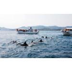 野生のイルカに会える!?熊本・天草でイルカ・ウォッチングを体験