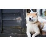 秋田犬に会える!秋田犬会館など大館市のおすすめ観光スポット
