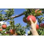 長野でりんご狩りを堪能!おすすめ農園やお土産をご紹介