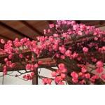 滋賀・長浜盆梅展で春を先取り!梅の盆栽ライトアップを堪能しよう